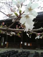 立本寺の桜